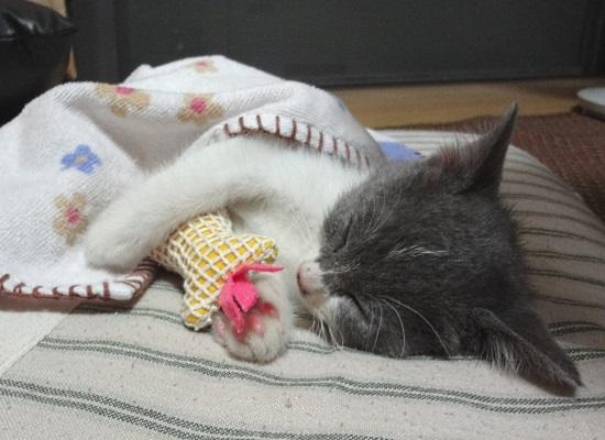 おもちゃを抱っこして眠っている子猫の写真