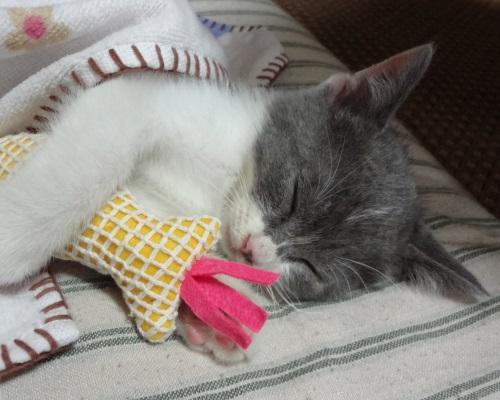 おもちゃを持って眠ってしまった子猫の写真