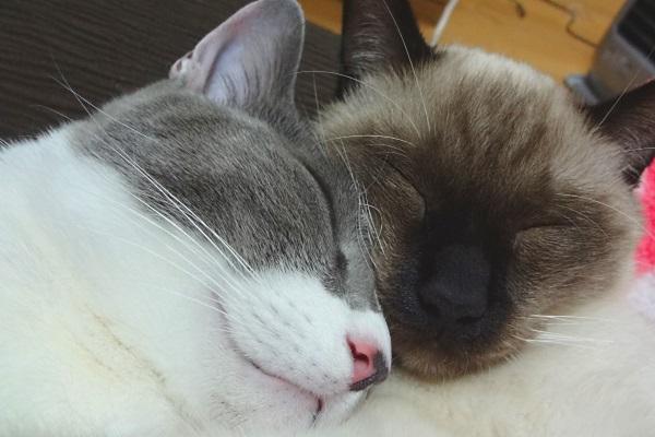 顔を寄せ合って眠っている猫たちのようす