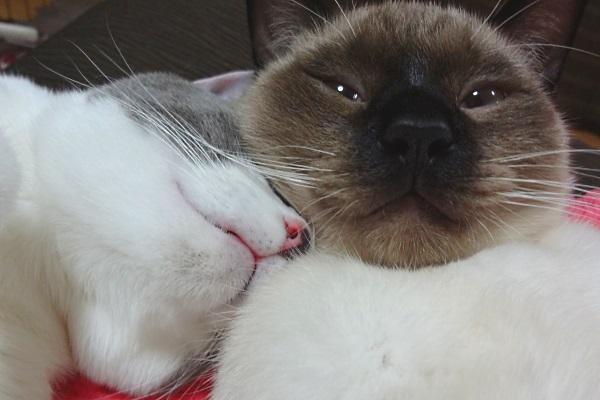 子猫に甘えて眠っている先住猫の写真