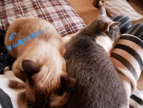 膝の上を取り合って眠る猫たちの写真