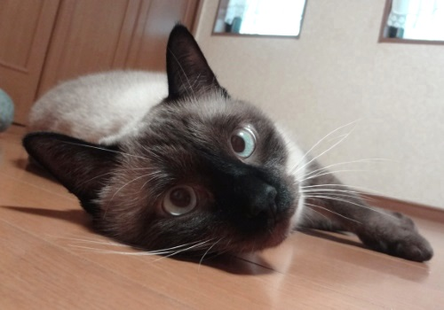 床に寝転がって甘える猫の写真