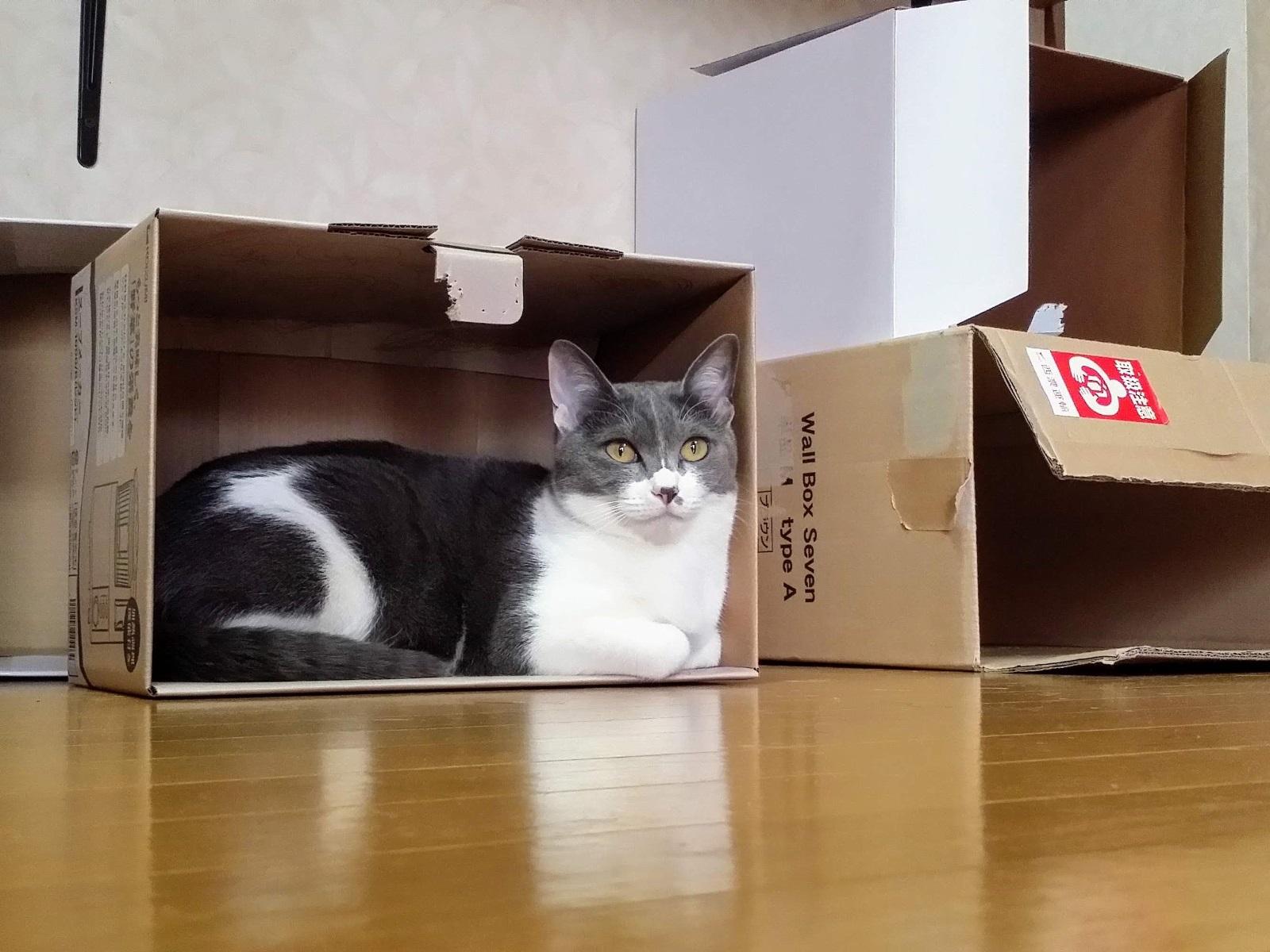 空き箱に居座る猫の写真