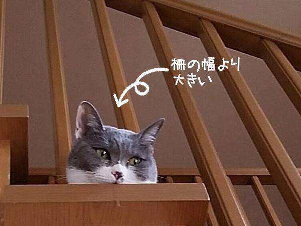 柵の幅より顔が大きい猫の写真