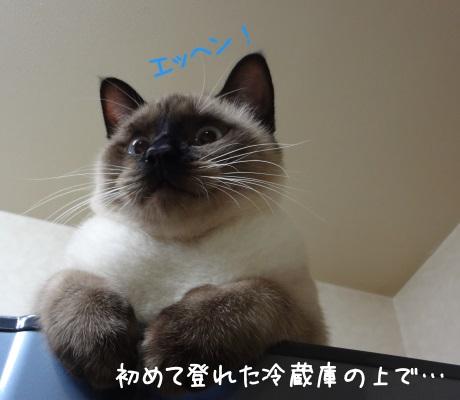 初めて登れた冷蔵庫で得意そうな猫の写真