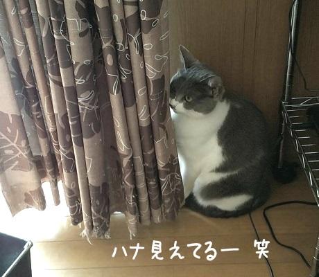 カーテンに隠れているつもりで全部見えている猫の写真