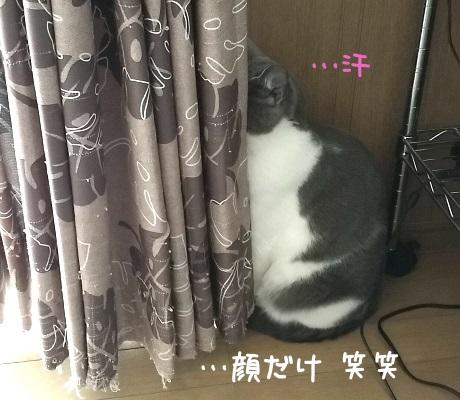 頭だけカーテンに隠れた猫の写真
