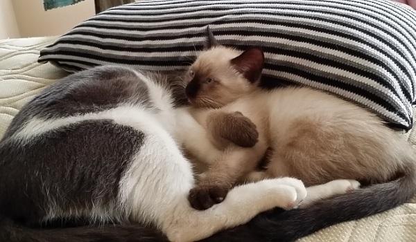 先住猫に甘えて眠る子猫の写真