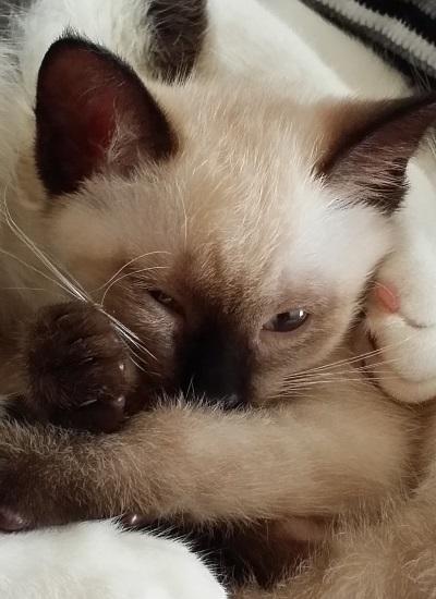 うっすらと目を開けて眠っている子猫の写真