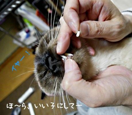 口をこじ開けて薬を飲まされる猫のようす
