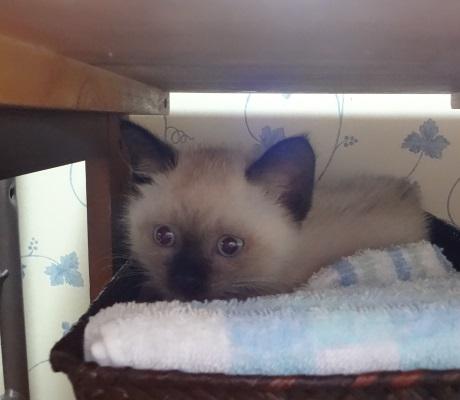 脱衣所のかごで遊ぶ猫の写真