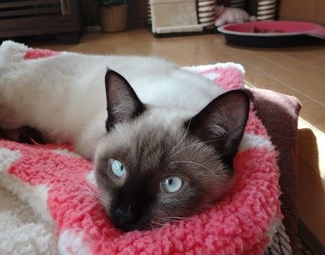 退屈そうにぼんやりしている猫の写真