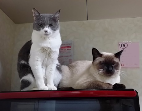 買ったばかりのオーブンレンジをパトロールに来た猫たちの写真