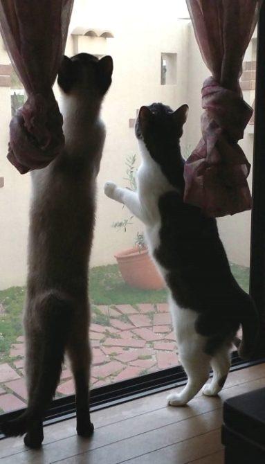 飛んで行く鳥を追いかけて網戸で見送る猫たちの写真