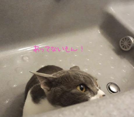 バスタブに隠れているのを見つかりそうな猫の写真