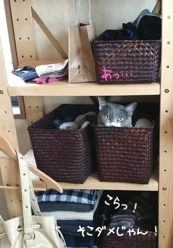 棚に隠れているのを見つかった猫の写真