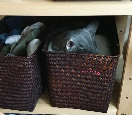 棚に隠れているのが見つかって隠れる猫の写真