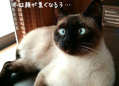 寒くなって顔が黒くなったシャムネコの写真