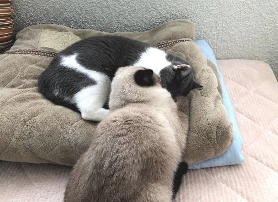 お姉ちゃん猫に引っ付いて寝ている猫の弟猫のようす