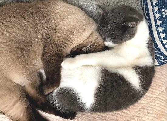 お姉ちゃん猫のお腹に潜って眠っている弟猫の写真